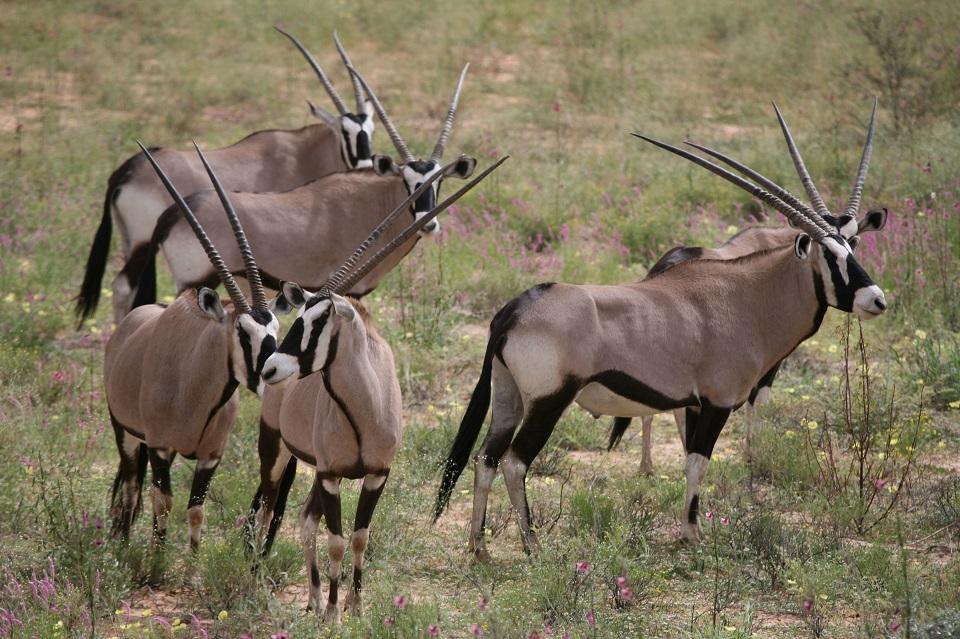 Gemsbok Kalahari Khomani San