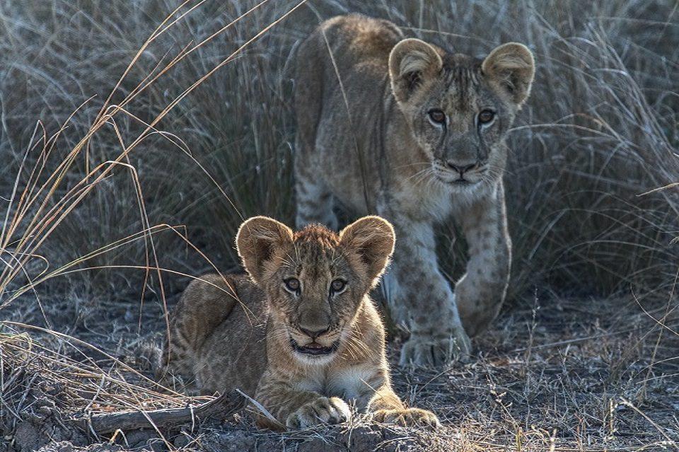 Lion Cubs Zimbabwe